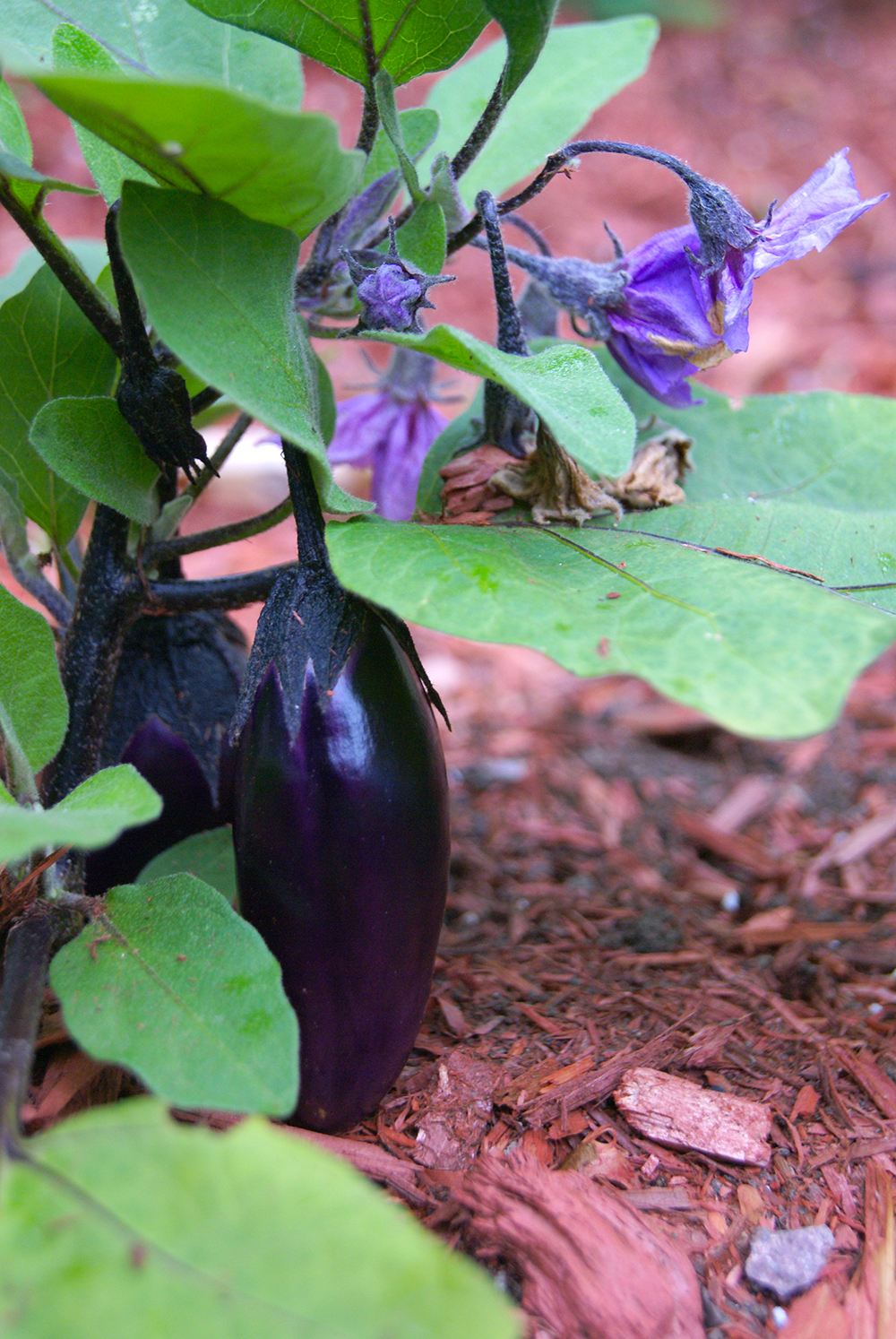 What's that? WE FINALLY GREW EGGPLANT SUCCESSFULLY!
