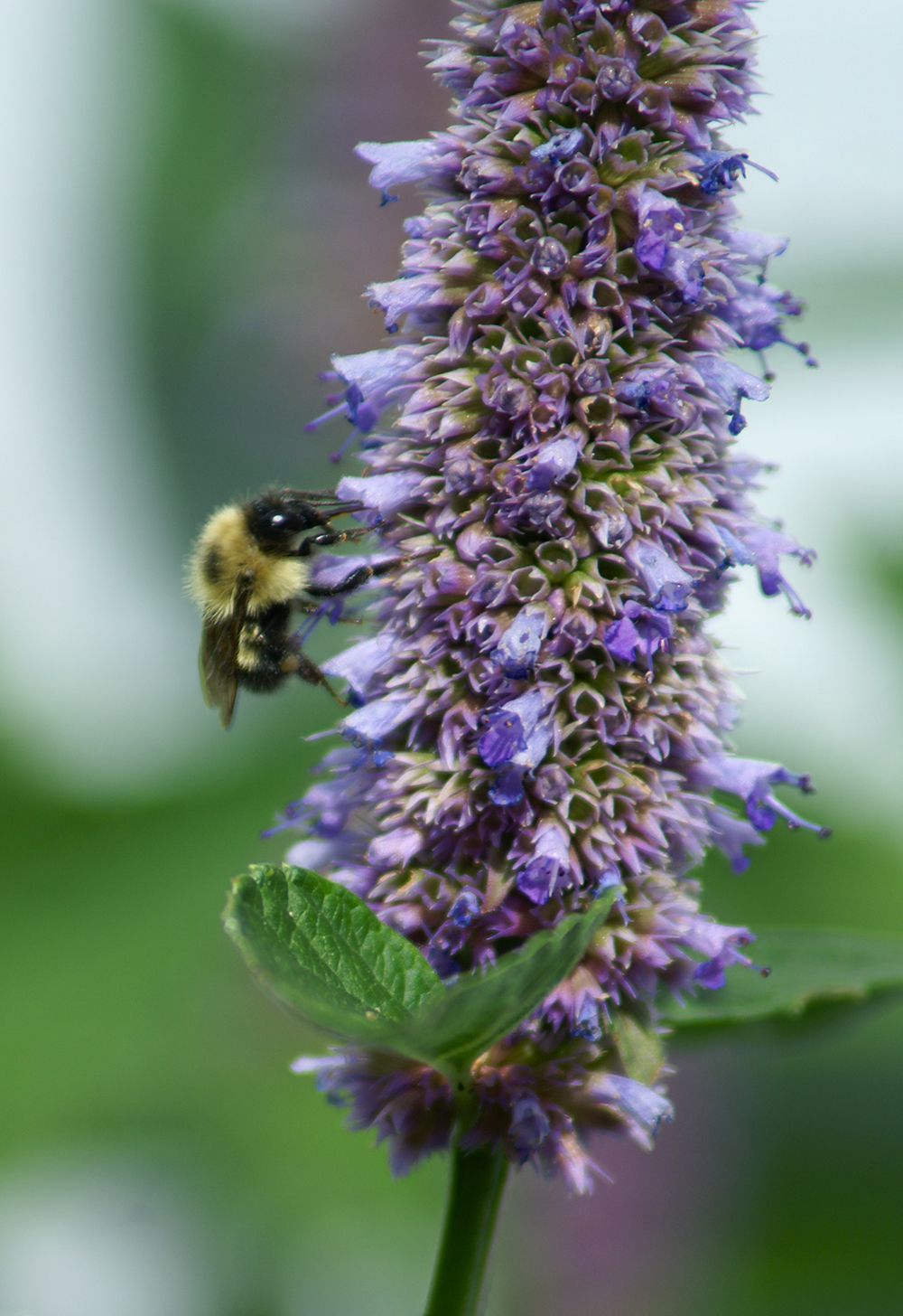 A bee working our anise hyssop plant