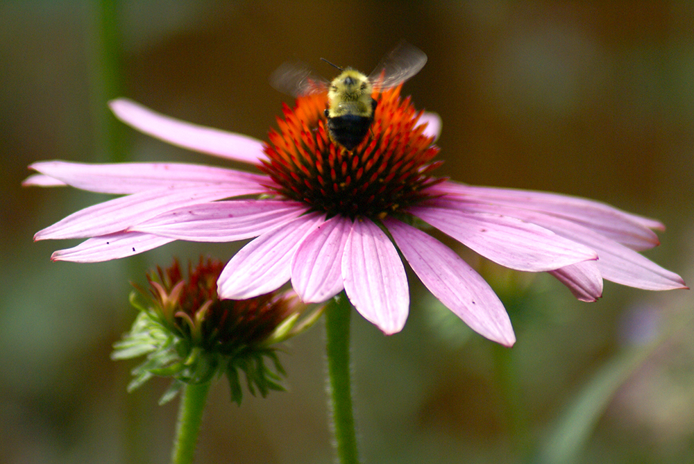 A bumble landing on our echinacea