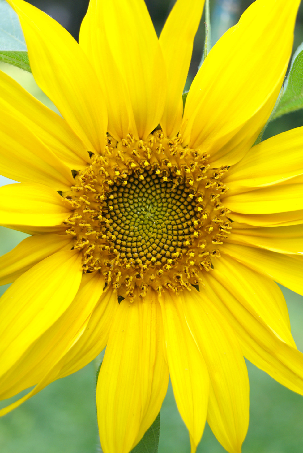 A pretty sunflower surprise!