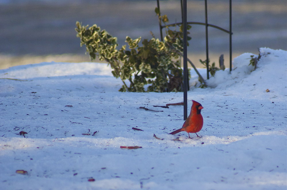 A cardinal in the snow